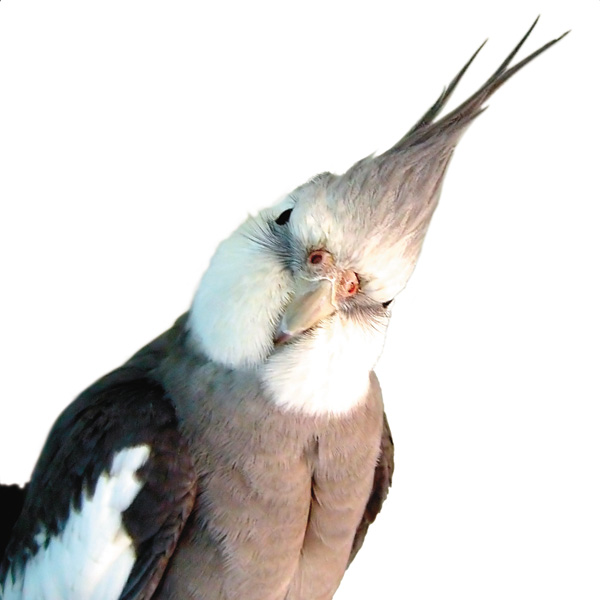 CheekyCockatiel noCredit
