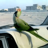 Break Dancing Parrot