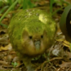 "Kakapo - ""Last chance to see\"""