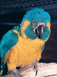 Macaw, Caninde (Blue-throated)