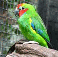 Fig Parrot, Double-eyed