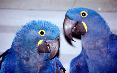 Breeding the Hyacinthine Macaw