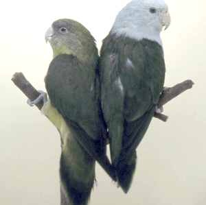 Pair of Madagascars