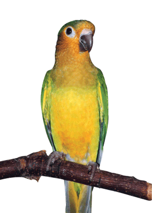 Parrots - The Brown-throated Conure